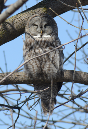 Great Gray Owl #2